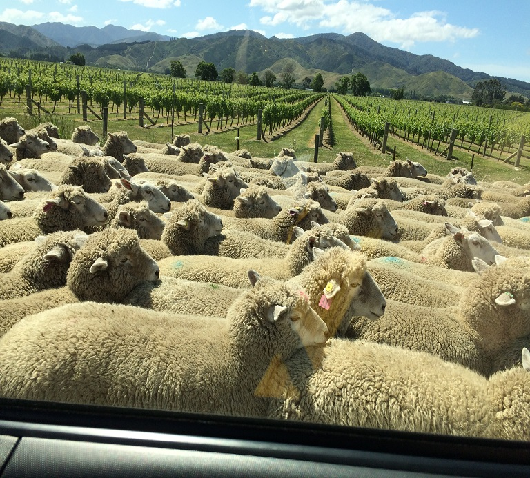 sheep on the move in marlborough