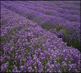 marlborough lavendar